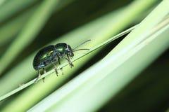 Bottle-green beetle Stock Image