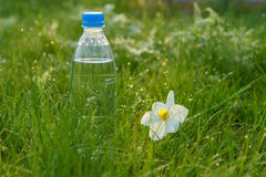 Bottle of mineral water and  flower of narcissus on green grass. Bottle of mineral water and white and yellow color daffodil on green grass with drops of dew in Stock Images