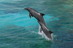 Bottle-nose del delfino fotografia stock