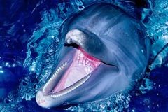 Bottle-nose dolphin Royalty Free Stock Images