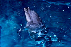 Bottle-nose dolphin Stock Photo