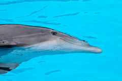 Bottle nose dolphin Royalty Free Stock Photo