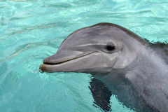 Bottle-nose Dolphin, close-up Stock Images