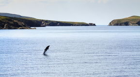 Bottle Nose Dolphin. A Bottle Nose Dolphin leaps from the water near Mwnt beach, Cardigan Bay stock images