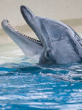 Bottle Nose Dolphin Playful Smile. The head of a bottlenose dolphin peeks out from the water Stock Photography