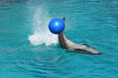 Bottle nose dolphin playing. With large blue ball stock photo