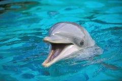Bottle-nose Dolphin (Tursiops truncatus). Portrait Stock Images