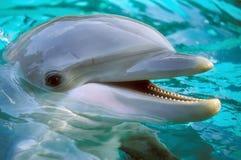 Bottle-nose Dolphin (Tursiops truncatus). Portrait Royalty Free Stock Photo