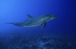 BOTTLE NOSE DOLPHIN/ tursiops truncatus Royalty Free Stock Photography