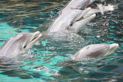 Bottle-nose dolphins Stock Image