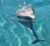 Bottle-nosed dolphin Royalty Free Stock Photography