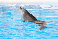 Bottle Nosed Dolphin. Swimming in water stock photography