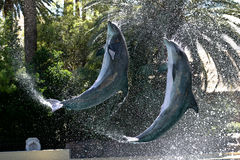 Bottle Nosed Dolphin. Two bottle nosed dolphins flipping in tandem royalty free stock photos