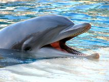 Bottle-Nosed Dolphin Stock Image