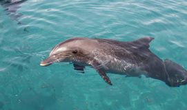 Bottle nosed dolphin Stock Image