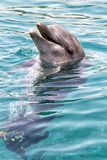 Bottle-nosed Dolphin Royalty Free Stock Photos