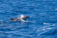 Bottle-nosed Dolphin swimming in Ocean near Sao Miguel, Azores Stock Image