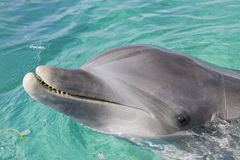 Bottle-nosed dolphins. Bottle-nosed dolphin close up smiling Royalty Free Stock Photo
