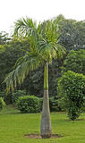 Bottle palm in Delhi park. India Royalty Free Stock Photos