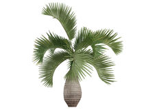 Bottle Palm (Hyophorbe lagenicaulis) Royalty Free Stock Photos