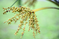 Bottle palm, Ponytail palm betel palm fruit Royalty Free Stock Image