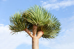 Bottle Palm Tree Stock Images