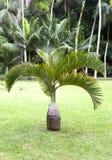 Bottle palm tree(Hyophorbe). Mauritius Stock Photos