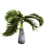 Bottle Palm tree Stock Photos