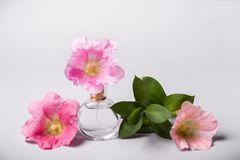 Bottle of perfume, green twig and mallow flowers. Perfume fragrance freshness concept Royalty Free Stock Image
