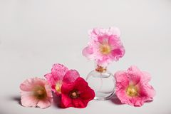 Bottle of perfume and mallow flowers. Perfume fragrance concept. Bottle of perfume and mallow flowers. Perfume fragrance freshness concept Royalty Free Stock Photos