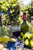 A bottle of red wine in the wineyard. The grapes, vine bottle an glasses in the wineyard Royalty Free Stock Photo