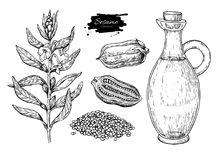 Bottle of sesame oil with plant and seed. Vector Hand drawn. Illustration. Glass pitcher vintage engraving isolated on white background. Great for menu, banner Stock Image