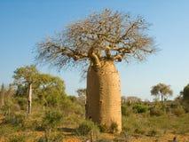 Bottle Tree. Bottle shaped Baobab tree. Reniala Arboretum, Ifaty, Madagascar stock image