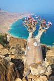 Bottle tree - adenium obesum Royalty Free Stock Image