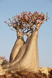 Bottle tree - adenium obesum Royalty Free Stock Images