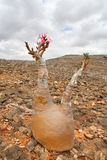 Bottle tree - adenium obesum Stock Photos