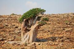 Bottle tree - adenium obesum Royalty Free Stock Photos