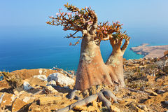 Bottle tree - adenium obesum - Socotra Island. Bottle tree - adenium obesum - endemic tree of Socotra Island with turquoise sea water background at Socotra Royalty Free Stock Photography