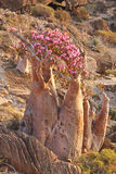 Bottle tree in bloom - adenium obesum Royalty Free Stock Photography