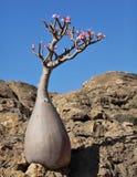 Bottle tree in bloom Stock Image