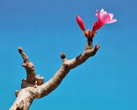 Bottle tree in bloom Stock Photo