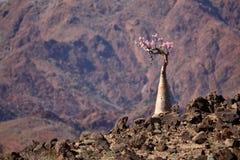 Bottle tree in bloom Royalty Free Stock Photo