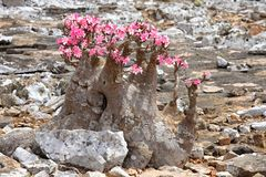Bottle tree in bloom Stock Photo