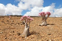 Bottle tree in bloom royalty free stock images