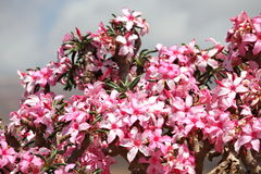 Bottle tree in bloom Royalty Free Stock Image
