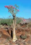 Bottle tree in bloom. Adenium  somalense Royalty Free Stock Image