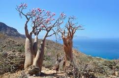 Bottle tree  (desert rose - adenium obesum) on the rocky coast of the Arabian Sea, Socotra Royalty Free Stock Images