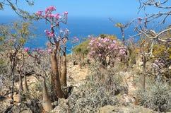 Bottle tree  (desert rose - adenium obesum) on the rocky coast of the Arabian Sea, Socotra Stock Photos