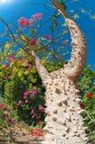 Tropical Garden. Bottle tree of the family Moringaceae Royalty Free Stock Photos