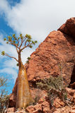 Bottle tree overview, Dragon Blood trees forest in Homhil Plateau, Socotra, Yemen Royalty Free Stock Images